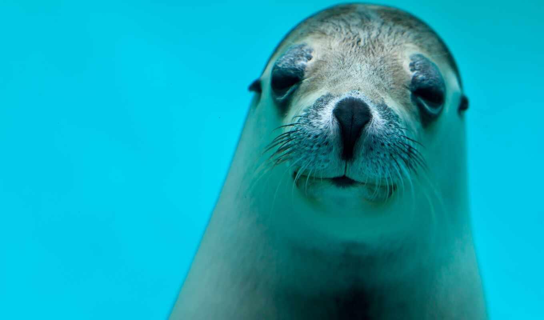 marine, тюлень, animal, underwater