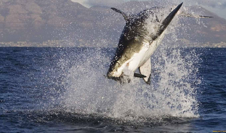 акула, белая, большая, море, акулы, нояб, океан,