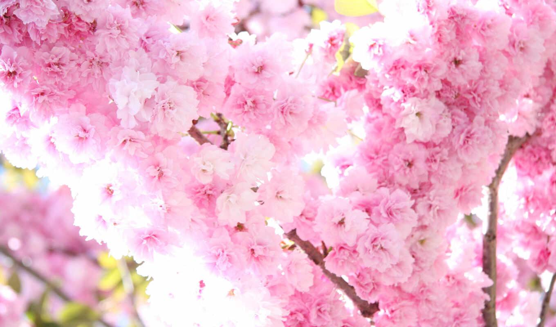 Сакура, цветы, цветение, весна, розовые,