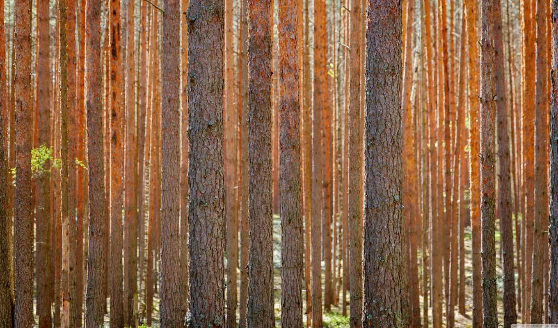 лес, widescreen, high, сосны, фон,