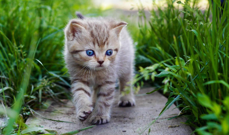 кот, сыграно, кошки, голубоглазый, savinkovadascha, шотландская, травы, пухнастые, котики,