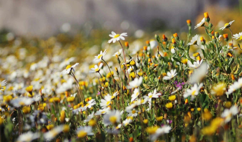 цветы, полевые, ромашки,