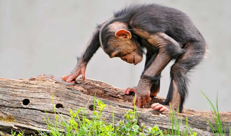 трава, log, обезьяна, шимпанзе,