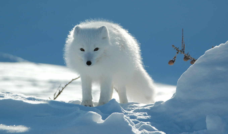 зимой, winter, фокс, summer,