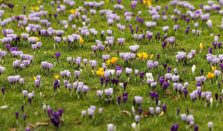 картинку, марта, крокусы, цветы, увеличить, get, ссылку, загружено,