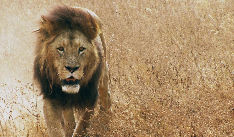 lion, грива, кот, саванна, трава, тигр, картинка, живые, льва, морда,