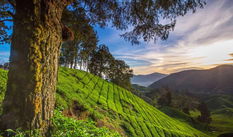 malaysia, pahang, highland, malaysian, природа, cameron, дерево