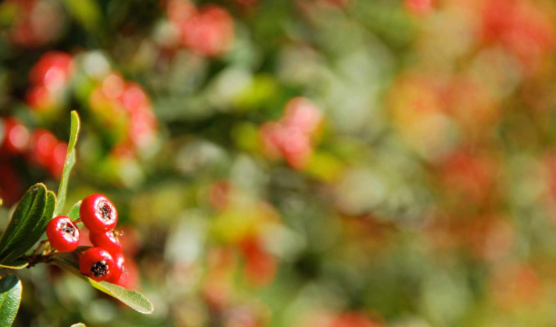 макро, ягоды, блики, branch, осень, разных, разрешениях,