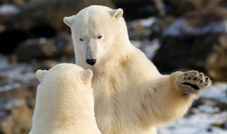 белые, снег, winter, медведь, медведи,