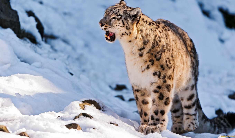 леопард, снег, казахстане, снежного, барса, казахстана, горах, казахстан, ирбис, осталось, грани,