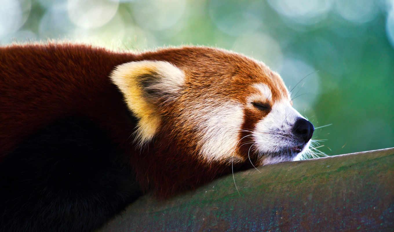 панда, красная, zhivotnye, малая,