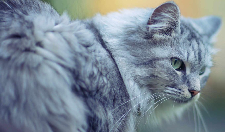 кот, cats, серый, different, разрешениях,