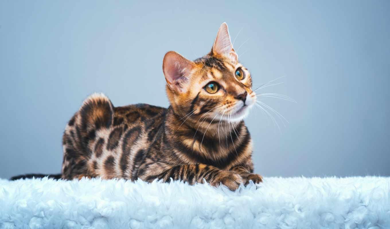 zhivotnye, кот, бенгальская, взгляд, морда,