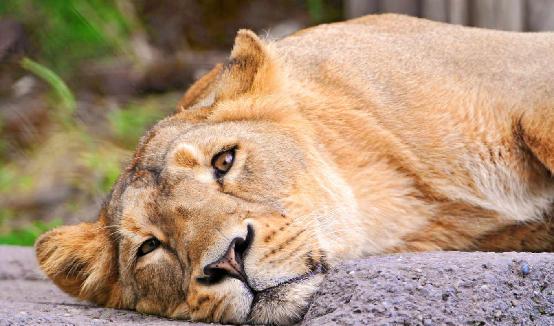 львица, lion, морда, смотрит, лежит,