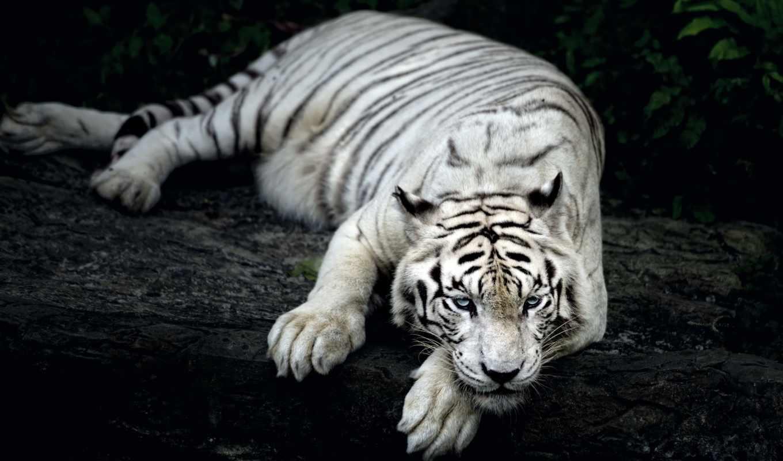 тигр, amur, взгляд, книга, красная, песочница, зайцы,