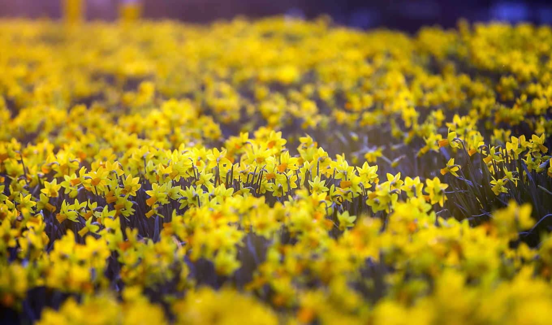 daffodils, desktop, кб, категория, flowers, possible, pixels, ultimate, resolution,