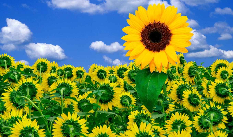 цветы, подсолнух, подсолнухи, небо,