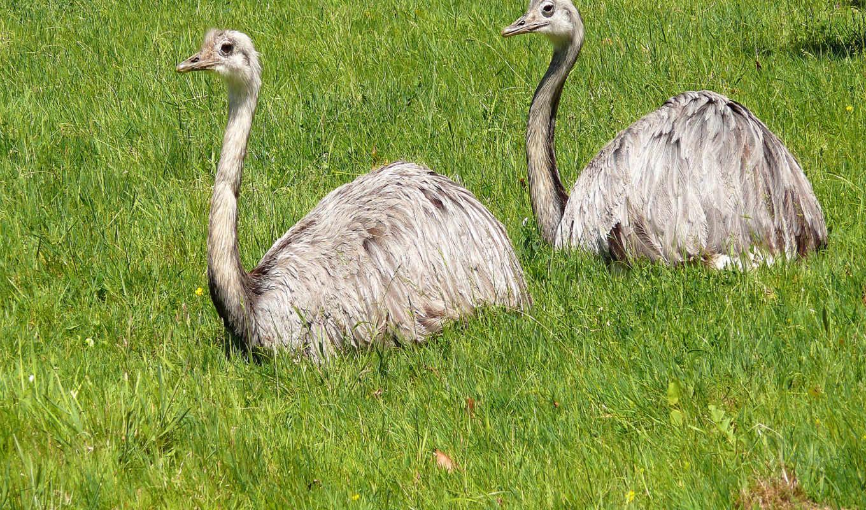 ostrich, feb, картинка, птицы,