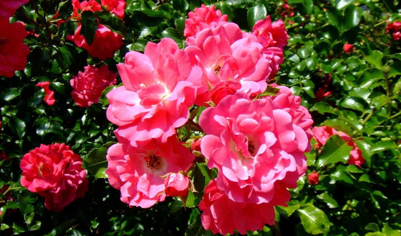 цветы, розы, резеда, пупок, play,