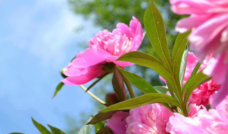 розовый, цветы, пион,