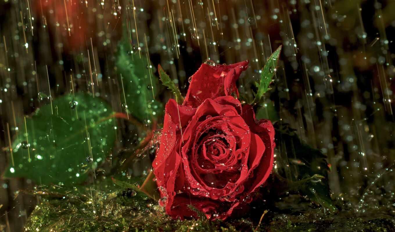 дождь, капли, роза, цветы,