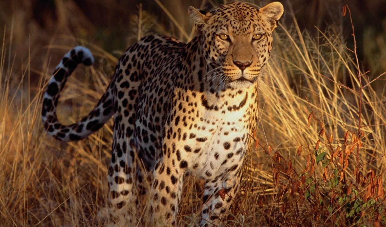 природа, леопард, трава,