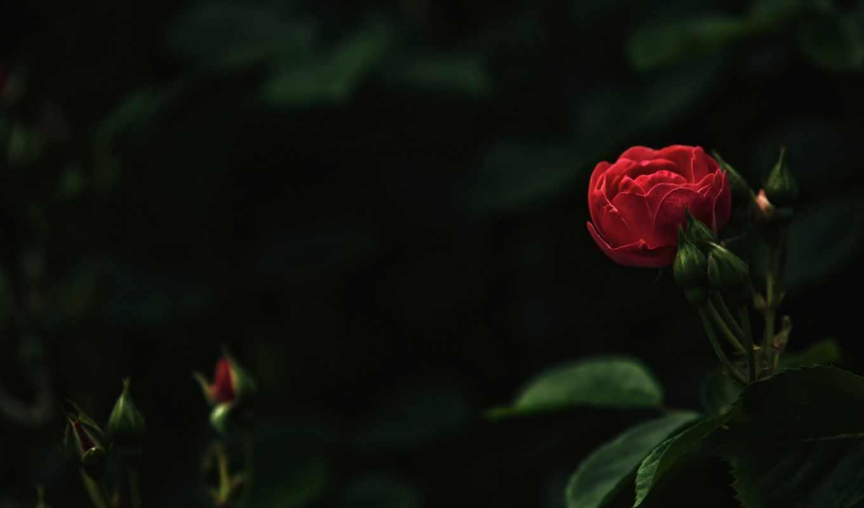 шишки, roses, you,