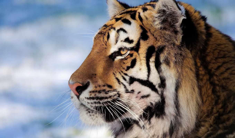 тигр, глаза, id, тигров, closeup, woods,