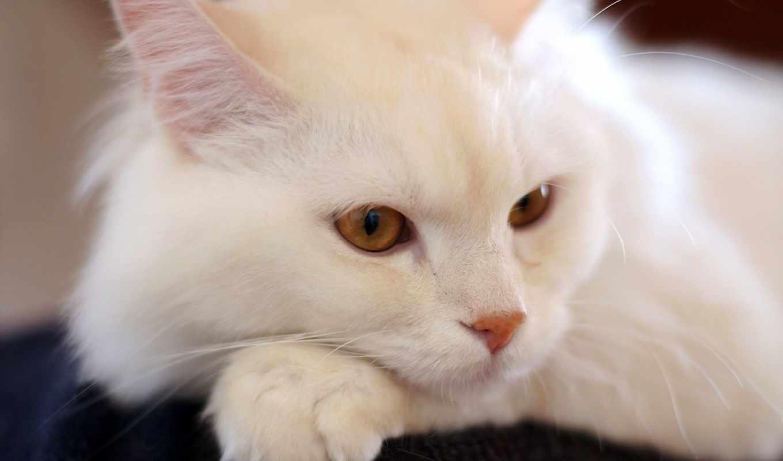 ангорский, турецкая, кошек, ангоры, порода,