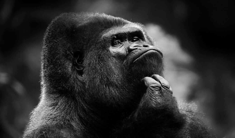 чёрно, широкоформатные, белые, обезьяна, горилла,