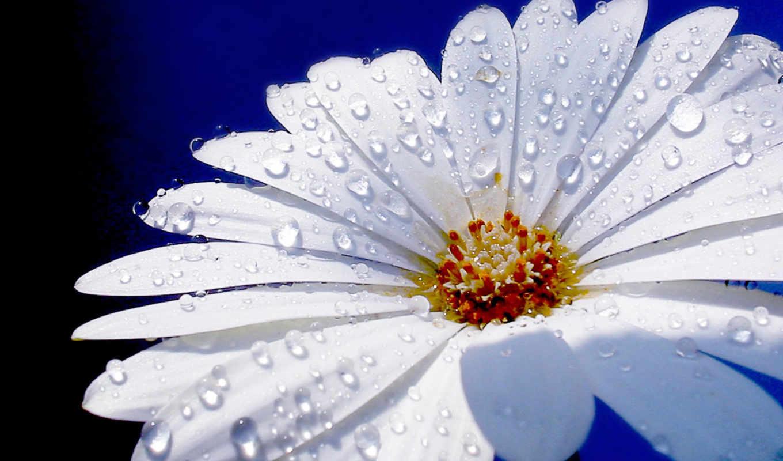 капельки, цветы, росы, gerbera, вышивки, макро, роса, картинка, фоны,
