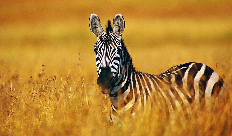 zebra, греви, equus, горная,