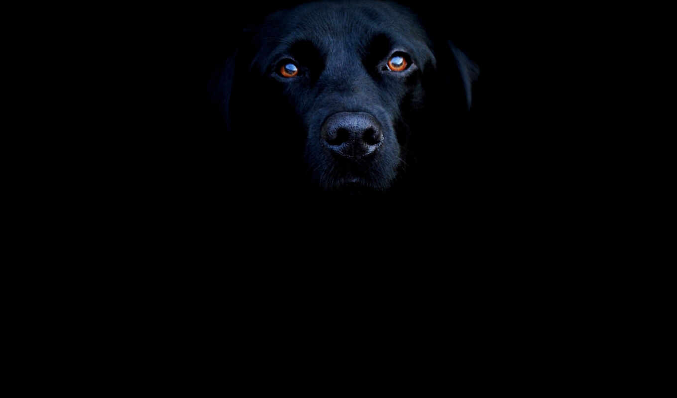 black, часть, labrador, lab, uploading, ipad, retriever, animals, чтобы, animal,