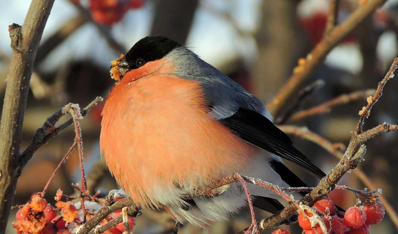 птица, хорошем, ветки, ягоды, рябина, толстая, снегирь,
