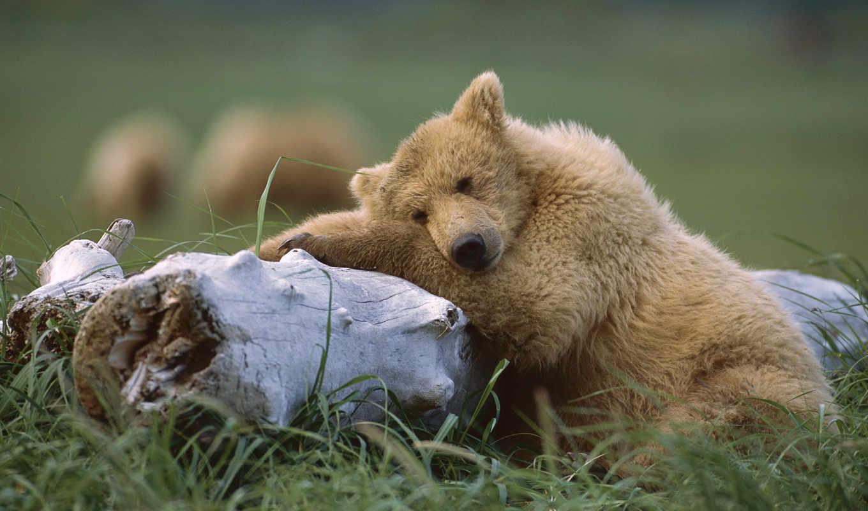 reserve, алтай, россии, заповедников, фотографий, самых, медведи, медведей, озера, наводнения,