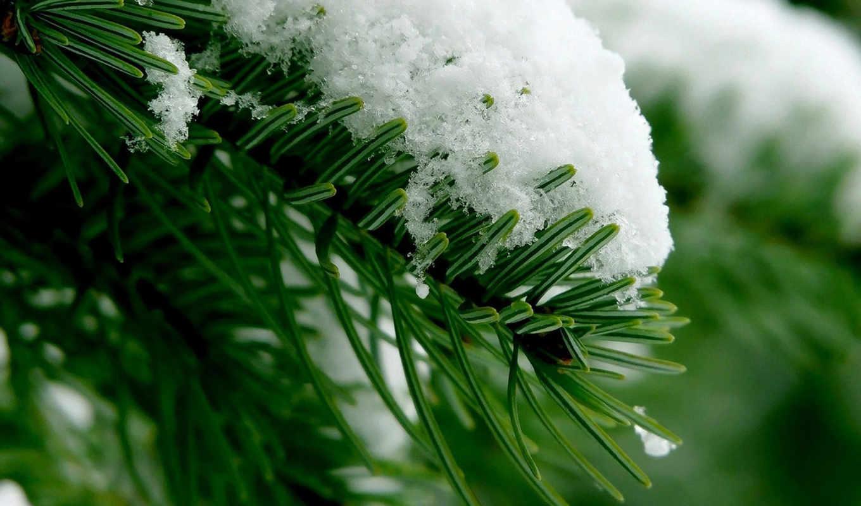 еловая, веточка, definition, обоев, high, snow, wallpapers, عکس, тaет, природа, снег, хвойной, ветке,