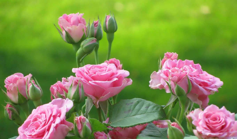 розы, цветы, куст, rosas, картинка, картинку, мыши, imágen, цветут, выберите, кнопкой, правой, смотрите, roses,