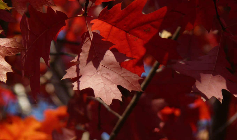 листья, рыжие, деревья,