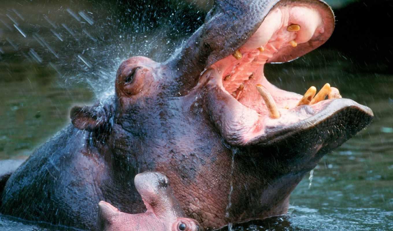 своих, размеров, однако, неповоротливы, медлительны, многие, считают, бегемоты, опасное, заблуждение,