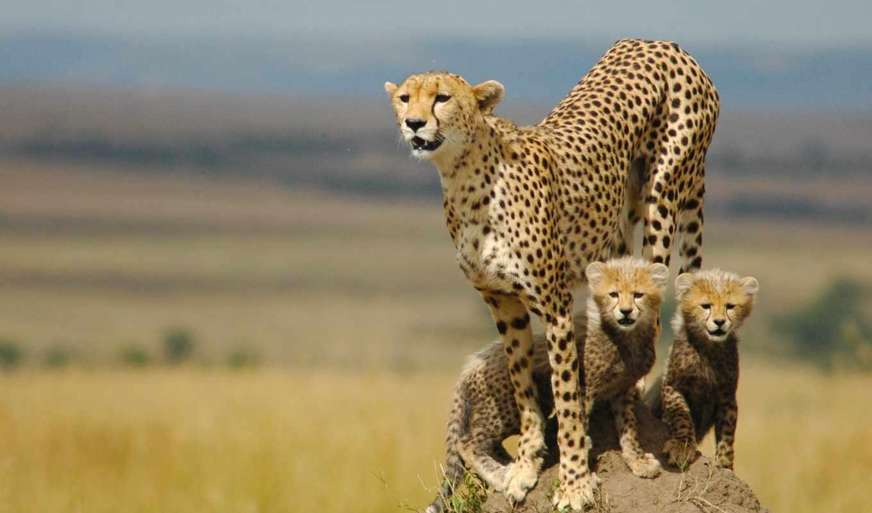 гепард, котята, семья, мама, хищник,