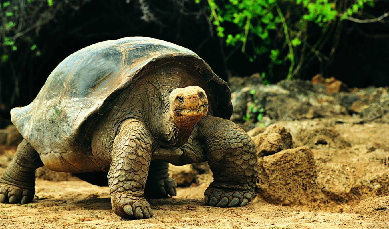 черепаха, большая, черепахи,