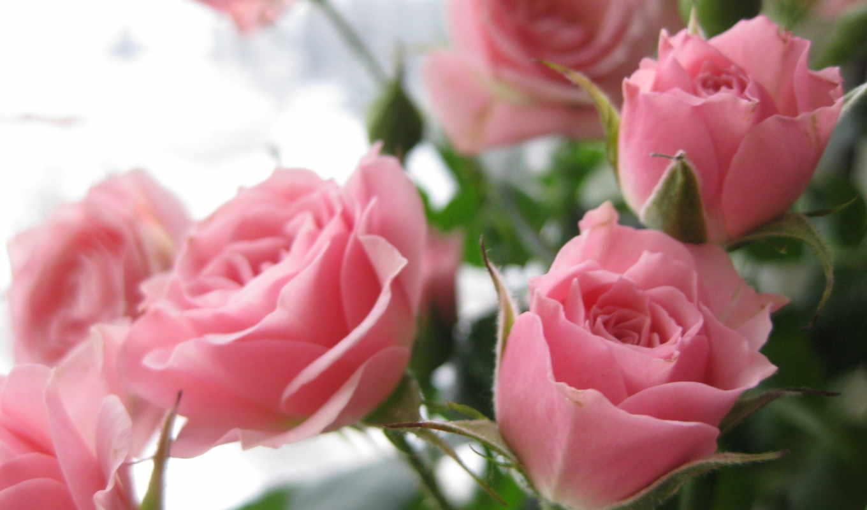 розы, цветы, букет, розовый,