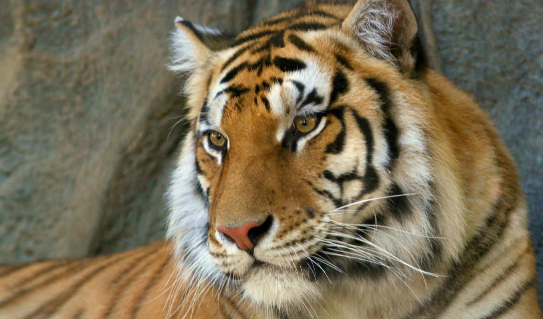 тигра, морда, тигр, февр,
