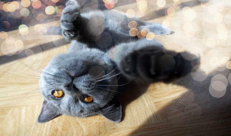 animals, funny, cute, британской, сегодня, морда, лапы, кастрированными, за, котами,