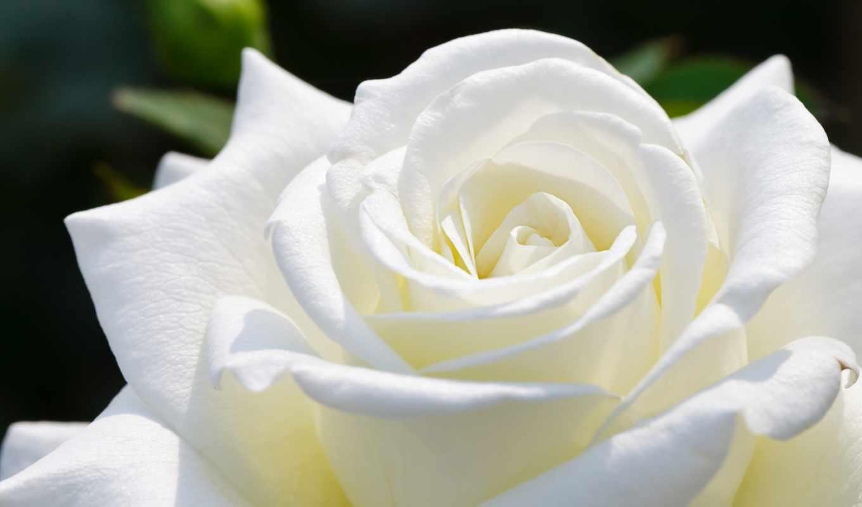 роза, бутон, цветы, розы, макро, лепестки, белая,