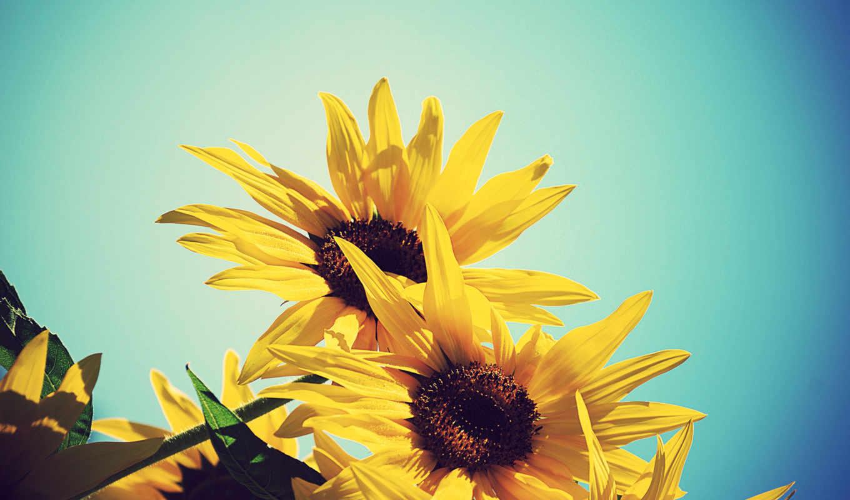 небо, подсолнух, цветы, страница,