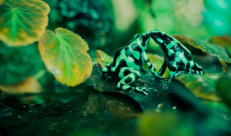 лягушки, zhivotnye, лягушка, зеленые, жизни, две, дикой,