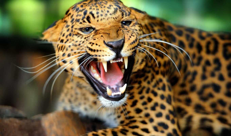 animal, ухмылка, леопард, wild, природа, кот, free, fang