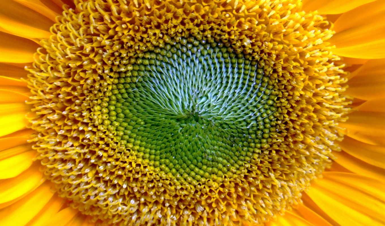 desktop, wallpaper, widescreen, close, background, wallpapers, golden, pictures, sun, up, солнце, free, sunflower, hd,