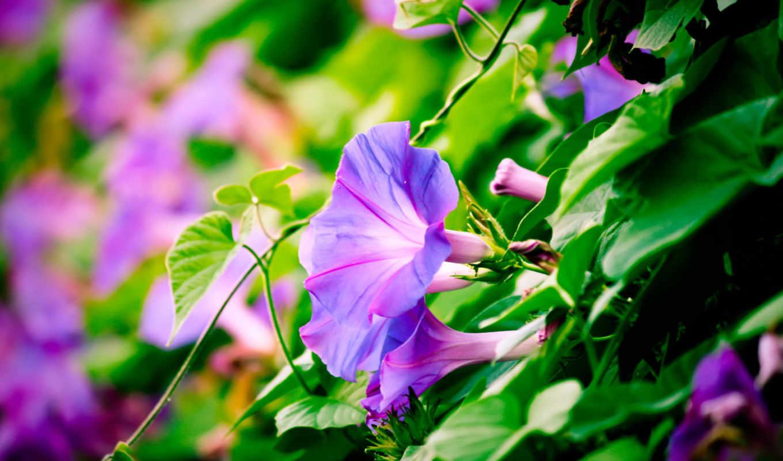floomby, фиалковые, грамофончики, цветы, ипомеи, изображение, картинку, вьюнки,